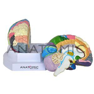 Cerebro-Colorido-com-Regiao-Funcional-em-2-Partes-Ref-TJZ-0303-F-Anatomic-