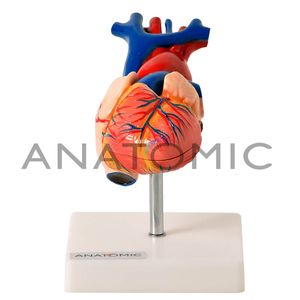 Coracao-Tamanho-Natural-em-2-Partes-Ref-TGD0322-Anatomic
